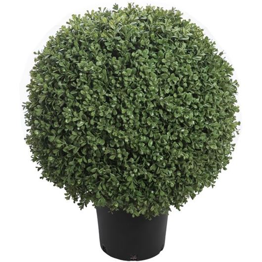 Picture of BOXWOOD plant h64cm green